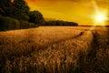 Pšenice zrání v pozdě slunce