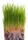 Wheat seedlings Stock Photos