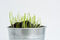 Wheat seeds sprouting from silver bucket Royalty Free Stock Photo