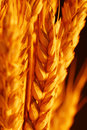 Wheat selective focus Royalty Free Stock Image