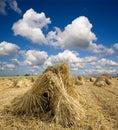 Wheat Sheaves Royalty Free Stock Photo