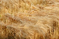 Wheat sheaves at the harvest Royalty Free Stock Photo