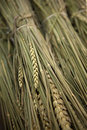 Wheat sheaves Royalty Free Stock Photo