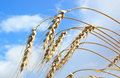 Wheat on sky background Stock Photography