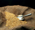 Wheat sowing seed Royalty Free Stock Photo