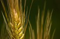 Wheat spike in foreground with the background out of focus tender grains and early summer Royalty Free Stock Images
