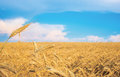 Wheat spike on a gold blurred background with blue sky Stock Photo