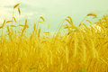 Wheat spike on a gold blurred background vintage style Stock Photography
