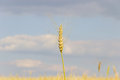 Wheat spike over the field against the sky ripening Royalty Free Stock Photo