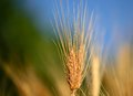 Wheat spikes  with the blue and green background Royalty Free Stock Photo