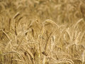 Wheat spikes in golden field with cereal grain Stock Photos