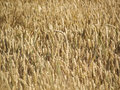 Wheat spikes in golden field with cereal grain Royalty Free Stock Photography