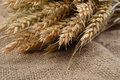 Wheat spikes on grain on rustic jute fabric with copy space. Can Royalty Free Stock Photo