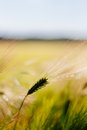 Wheat stalk close up of in field of grasses on sunny day Stock Image