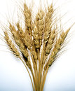 Wheat stalks on white background with blue gradation Stock Image