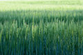 Wheat Stems Isolated Royalty Free Stock Photo