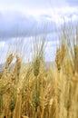 Wheat straws Royalty Free Stock Image