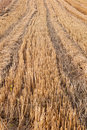 Wheat stubble