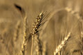 Wheat. Summer field. Royalty Free Stock Photo