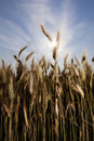 Wheat with sun Royalty Free Stock Image