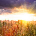 Wheat and sundown Stock Photography