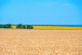 Wheat and sunflower fields Royalty Free Stock Photo
