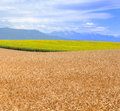 Wheat and Sunflowers Royalty Free Stock Photography