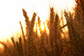 Wheat and sunrise ripe ears during Royalty Free Stock Photos