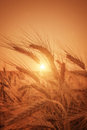 Wheat On Sunset. Nature Backgr...