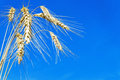 Wheat there are on blue sky Royalty Free Stock Image