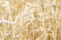 Wheat triticum crop ready for harvest macro image of Royalty Free Stock Photos