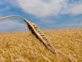 Wheat in a Wheat Field Royalty Free Stock Image