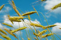 Wheat in wind and blue sky Royalty Free Stock Photos
