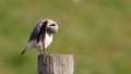 Wheatear cleaning on a post Stock Images