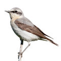 Wheatear oenanthe oenanthe in front of white background isolated male Royalty Free Stock Photo