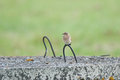 Wheatear offspring young on a manhole lid estonia Royalty Free Stock Image