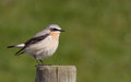Wheatear on a post Royalty Free Stock Photo