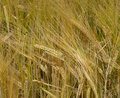 Wheaten ears growing of wheat of yellow shades Royalty Free Stock Images