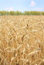 Wheaten field Royalty Free Stock Images