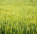 Wheaten field Royalty Free Stock Photos