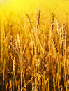 Wheaten field Royalty Free Stock Image