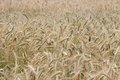 Wheaten field, fullframe. Royalty Free Stock Images
