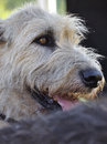 Wheaten portrait of a colored irish wolfhound Royalty Free Stock Photos