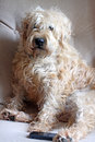 Wheaten terrier sitting in a chair dog with mobile phone at his feet Royalty Free Stock Image