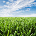 Wheatfield juicy green grass dew drops close up against blue sky Royalty Free Stock Photo