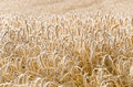 Wheatfield yellow in hungary with afternoon lights Royalty Free Stock Images