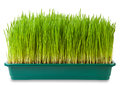 Wheatgrass Royalty Free Stock Images