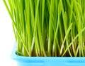 Wheatgrass close up Royalty Free Stock Photo