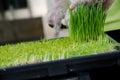 Wheatgrass  cutting Royalty Free Stock Photo
