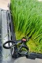 Wheatgrass  cutting scissors Royalty Free Stock Photo